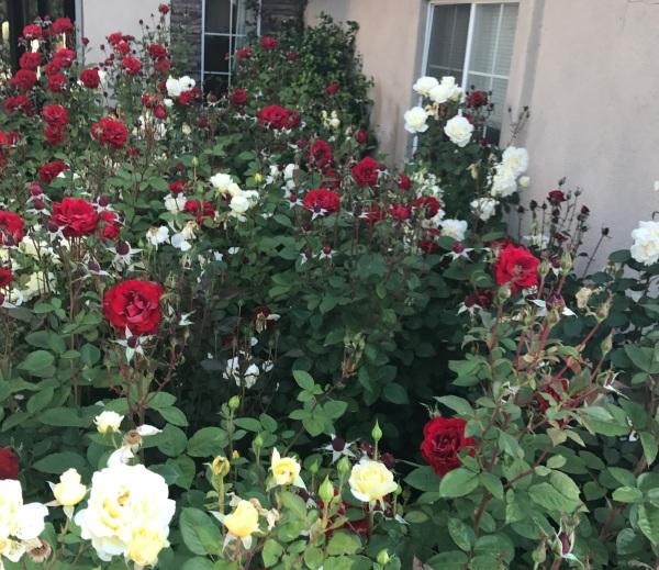 Roses 2 April 22 2017