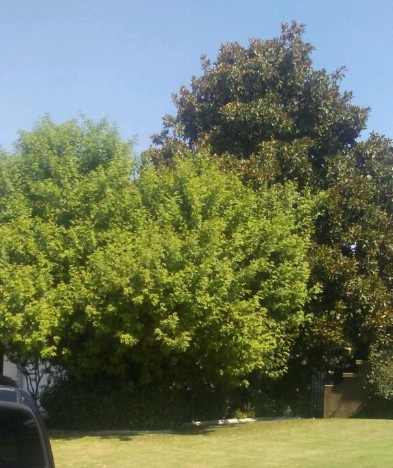 Before Magnolia and Brazilian Pepper