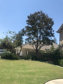Tree Trimmed July 22 2017