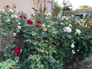 叛徒红与白玫瑰色2018年4月20日