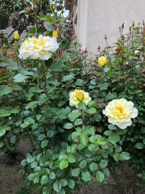 Renegade White Roses April 7 2018