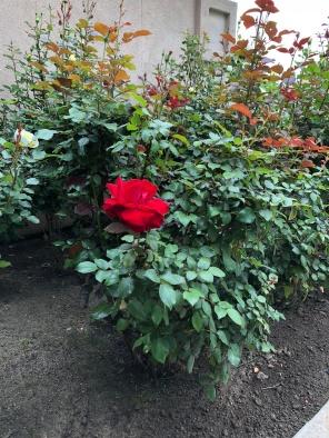 Solitary Renegade Red Rose April 7 2018