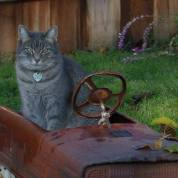 Tabby in a rusty truck garden decoration