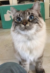 tabby cat with blue eyes