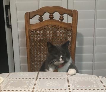 坐在餐桌椅子上的灰白色猫