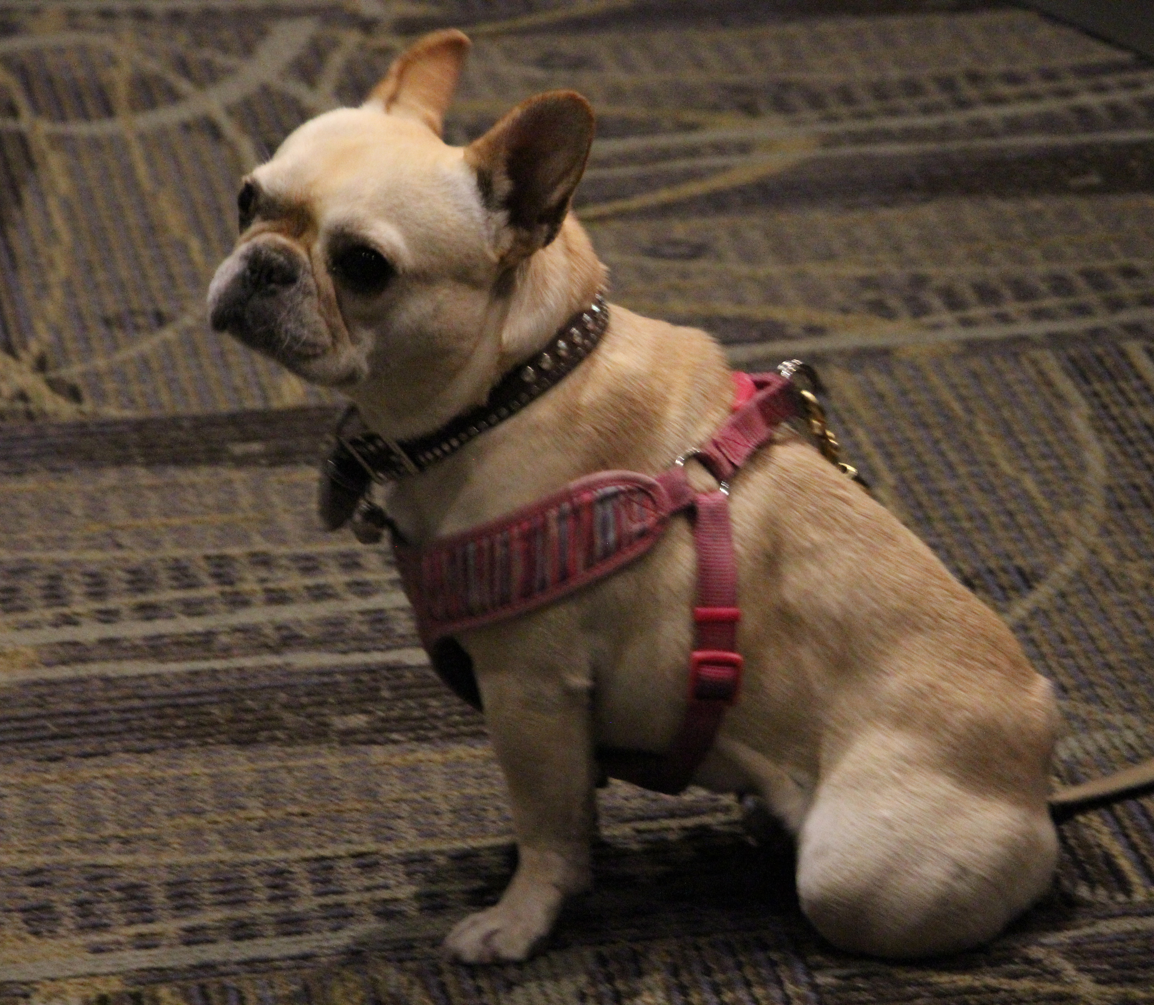 french bull dog with a harness in the indoor theater