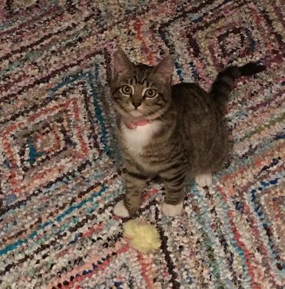 带玩具的斑猫和白猫咪