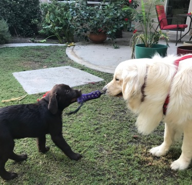dog and puppy play tug of war