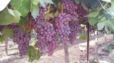 葡萄藤上的红葡萄