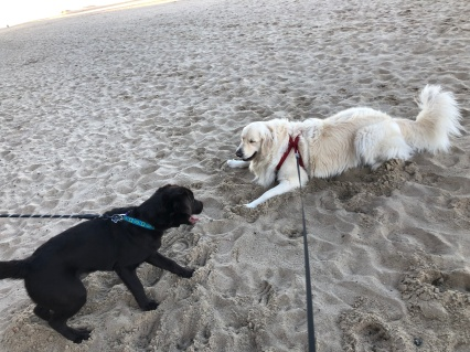 Dogs in sand